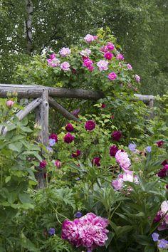 Gardens: Summer roses for the #garden.