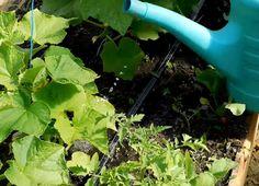 Bicarbonat de sodiu – salvatorul grădinii dumneavoastră! Bicarbonatul este un îngrășământ pentru castraveți, tomate și alte culturi! - Pentru Ea Vegetables, Houses, Plant, Vegetable Recipes, Veggies