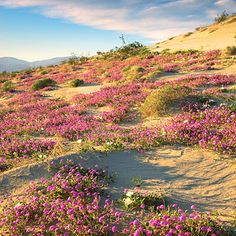 View the wildflower display at Anza-Borrego, California's largest state park