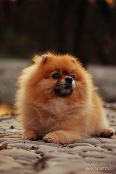 Pomeranian dog by Anna Aybetova