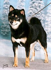 Black and Tan Shiba Inu!
