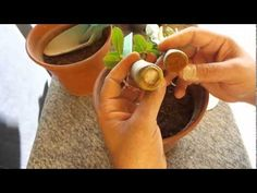Como colher as Sementes das Rosas do Deserto que estão nas vagens - pod seeds adenium - YouTube