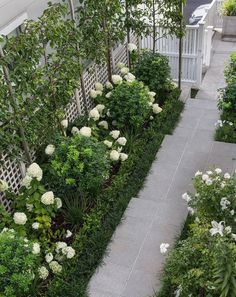 Ornamental pleached pears, white Hydrangea Limelight   Tinakori, HEDGE Garden Design & Nursery