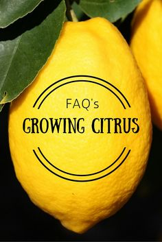 Frequently asked questions about growing citrus answered by @thecitrusguysc!