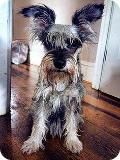 SAFE - Nesquehoning, PA - PAWSITIVELY PERFECT RESCUE, Miniature Schnauzer. Meet Mousey, a dog for adoption. http://www.adoptapet.com/pet/13814232-nesquehoning-pennsylvania-miniature-schnauzer