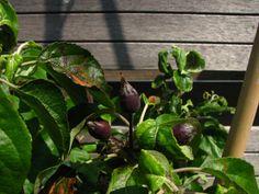 Eten uit de tuin #ediblegarden #appeltjes #apples