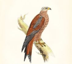 Antique Kite Bird Print . original woodblock plate dated 1895