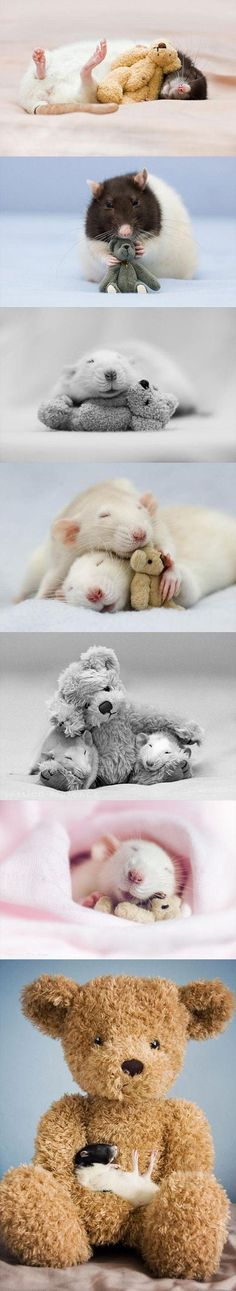 Funny pictures about Rats with teddy bears. Oh, and cool pics about Rats with teddy bears. Also, Rats with teddy bears. Hamsters, Rodents, Animals And Pets, Baby Animals, Funny Animals, Cute Animals, Funny Rats, Cute Rats, Rats Mignon