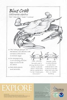 Blue Crab - I love these little creatures!