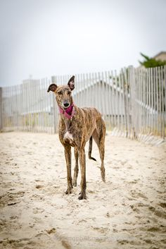 Brindle greyhound on the beach. ShutterHounds. Some of my favorite photos I took during 2013 (part 2)