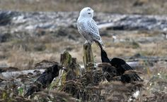 Raven pulls on Snowy Owl tail!