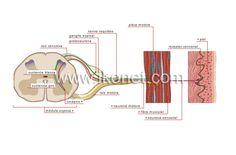 impulso nervioso image