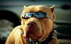 Am I looking good?  #dogs  #pitbull