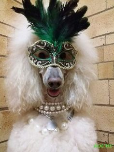 Red Poodles, French Poodles, Standard Poodles, Funny Animal Photos, Funny Animals, Cute Animals, Poodle Grooming, Dog Grooming, Boy Dog Clothes
