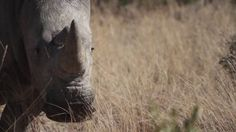 An Africa Geographic article on HORN, a film about the social side of rhino poaching. Crime In South Africa, Rhino Poaching, Lest We Forget, Before Us, Animals Beautiful, Horns, Documentaries, Safari, Photo Galleries