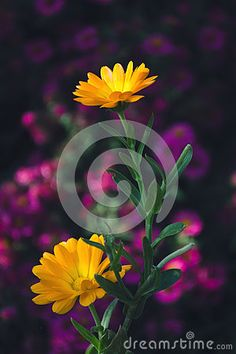 Photo about Orange-flowering marigold in front of purple flowers. Image of flowering, garden, color - 78940537 Marigold Flower, Purple Flowers, Stock Photos, Orange, Garden, Plants, Photography, Color, Colour