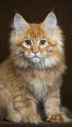 """""""Maine Coon Kitty"""" Oh how beautiful you are (Hi Rezzz) Pretty Cats, Beautiful Cats, Animals Beautiful, Cute Animals, Cute Cats And Kittens, Cool Cats, Kittens Cutest, Animal Gato, Gato Grande"""