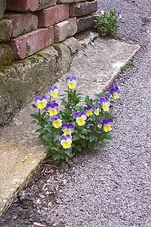 - Pansies, love this! Pansies, love this! Rock Flowers, Simple Flowers, Amazing Flowers, Wild Flowers, Beautiful Flowers, Exotic Flowers, Blue Flowers, Simple Colors, Simply Beautiful