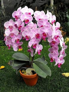 Tips on Propagating your orchid plants at Unusual Flowers, Amazing Flowers, Pink Flowers, Beautiful Flowers, Orchids Garden, Orchid Plants, Flowers Garden, Hibiscus, Orquideas Cymbidium