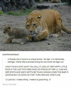 EXCUSE ME NO LIGERS ARE INFERTILE BECAISE THWY HAVE AN ODD NUMBER OF GENES. This is not correct ms Lynam would be so disappointed