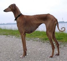 azawakh dog photo | Azawakh, Azawakh Dog (Azawakh sighthound) ~ Bullcatdog