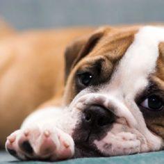 I want a bulldog!!!!!!