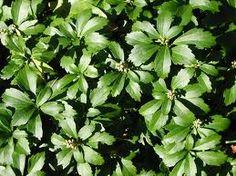 Pachysandra terminalis of Schaduwkruid is een zeer sterke bodembedekker. De plant is eigenlijk een struikje en geen vaste plant, omdat het van onderen houtachtig is. Het wordt ongeveer 20 cm hoog.  Het is een groenblijvende plant die zeer winterhard is. De plant bloeit met kleine witte bloemen, maar die zijn nogal onopvallend. De plant vermeerderd zichzelf door worteluitlopers.  De plant houdt van een plek in de schaduw.
