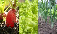 A saláta ideális társnövényei, azaz ezeket ültesd mellé, ha jót akarsz!   Hobbikert Magazin Stuffed Peppers, Vegetables, Garden, Plants, Garten, Stuffed Pepper, Lawn And Garden, Vegetable Recipes, Gardens