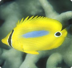 Bluespot Butterflyfish - Chaetodon plebius is a peaceful butterflyfish that lives in Indo-Pacific. Saltwater Fish Tanks, Aquarium Fish Tank, Underwater Creatures, Ocean Creatures, Colorful Fish, Tropical Fish, Fish Under The Sea, Beautiful Sea Creatures, Salt Water Fish