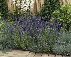 Lavandula angustifolia Ellagance Purple