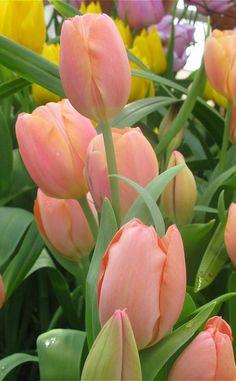 Elegant tulips – Gülçin Mutlu – Join the world of pin Tulips Garden, Tulips Flowers, All Flowers, Flowers Nature, Exotic Flowers, Amazing Flowers, Pretty Flowers, Fresh Flowers, Spring Flowers