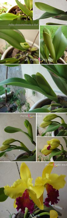 Leaf-developing-orchid-catley-cattleya