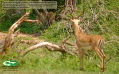 Impala - Nick van de wiel