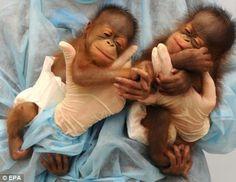 Orangutan Babies!!