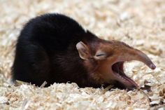 Roses are red, violets are blue, I didn't know I loved elephant shrews until I saw you   So uh if you like this pin...feel free to like follow us for more if you're like into that kind thing or whatever  (Canis Picta )