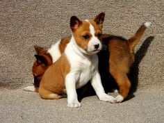 Basenji Puppy, Purebred Dogs, Cute Puppies, Cute Dogs, Dogs And Puppies, Doggies, Yorkshire Terrier Puppies, Hunting Dogs, Dog Art