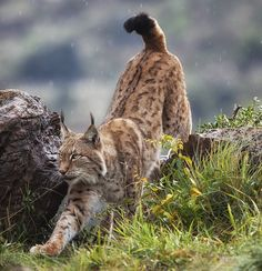beautiful-wildlife:  Lynx On The MovebyMario Moreno