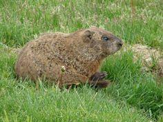 Marmota canadiense (Marmota monax)