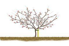 La poda de invierno de manzanos y perales... muestra la poda necesaria para un árbol maduro que produce la mayor parte de la producción en el interior del ramaje, será un árbol con muchas bolsas y lamburdas