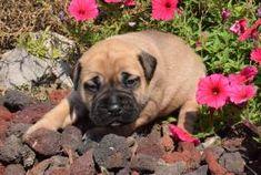 Bullmastiff Puppies for Sale | Lancaster Puppies Bullmastiff Puppies For Sale, Labrador Puppies For Sale, Lancaster Puppies, Animals, Animales, Animaux, Animais, Animal