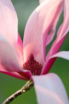 pink magnolia bloom