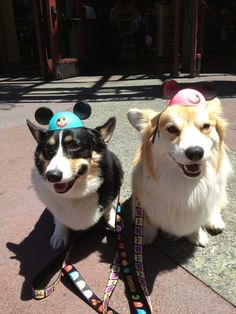 Where they get super cute hats that fit perfectly with their adorable corgi heads. | Ed And Jiggles Are The World's Cutest Corgi Best Friends