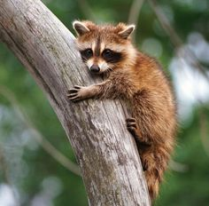 The raccoon (sometimes misspelled racoon), also known as the common raccoon, North American raccoon, northern raccoon and colloquially as coon, is a medium-sized mammal native to North America.
