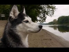 CAMPING WITH 5 DOGS! - Mishka the Talking Husky - http://www.gigglefinger.com/camping-with-5-dogs-mishka-the-talking-husky/