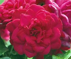An easy-to-grow and disease-resistant shrub with beautiful blooms? This Superhero rose sounds too good to be true! http://www.bhg.com/gardening/flowers/roses/the-easiest-roses-you-can-grow/?socsrc=bhgpin041815superhero&page=14