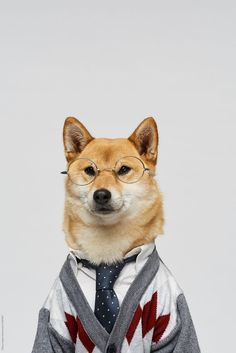 Business Dog Portrait of charming shiba inu wearing glasses, stylish cardigan and tie on white wall background by Clique Images for Stocksy United Dog Wallpaper, Animal Wallpaper, Super Cute Puppies, Cute Dogs, Shiba Inu, Akita, Menswear Dog, Vash, Animal Heads