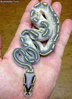 Pastel highway ball python. ♡ love the colors.