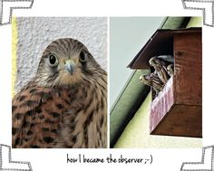 He landed on my window and stayed all night. It was the  love from the first sight :-D My Falcon, my camera and my eye.