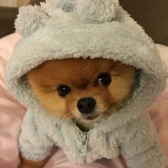 ЛУЧШАЯ МОДЕЛЬ СРЕДИ СОБАК POMERANIAN Pinterest Funny Animal - Jiff the pomeranian is easily the best dressed model on instagram