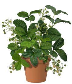 Ananas-aardbeienplanten (pineberry plant) van Berries@Home moet je altijd samen planten met een zelfbestuivende aardbeienplant zoals bijvoorbeeld de Sweet Eve, Eve's Delight, Lambada of Elsanta. Check www.berriesathome.nl voor meer informatie